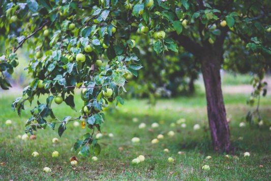 agriculture-apple-apple-tree-6035.jpg